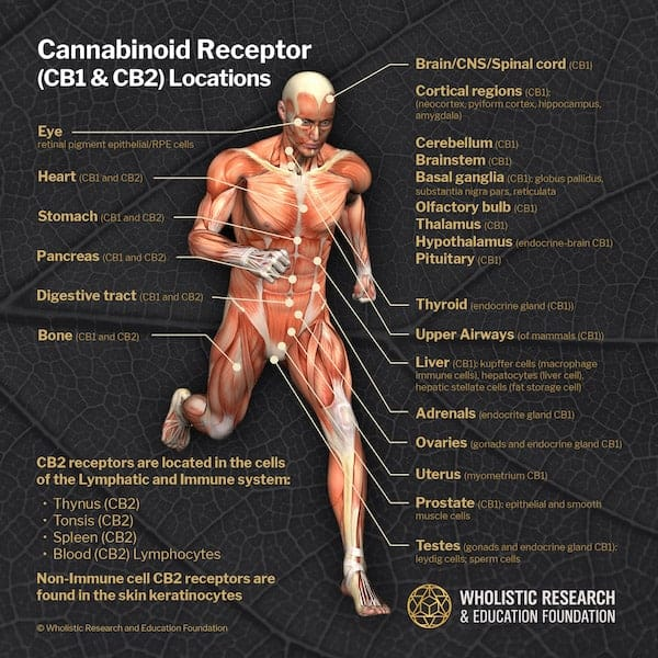 diagram of the different cannabinoids receptors in a human body