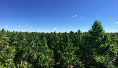 picture of a Colorado industrial hemp farm
