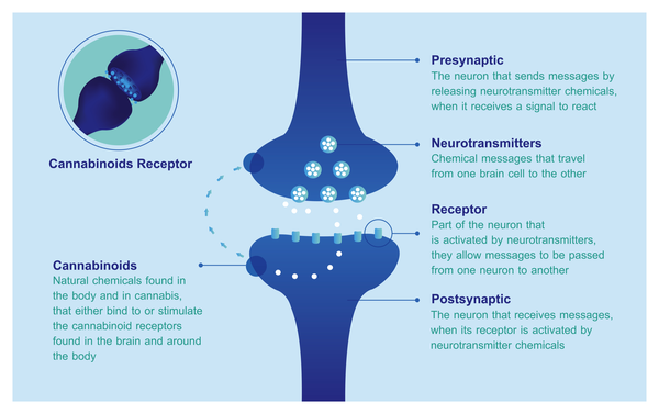 illustration of cannabinoids' effect on neurons