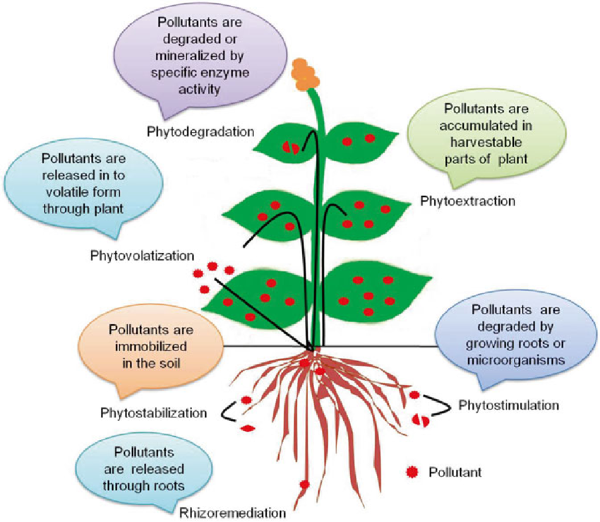 Phytoremediation diagram