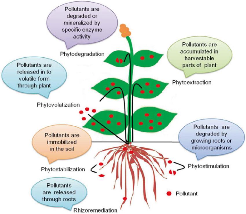 Phytoremediation diagram
