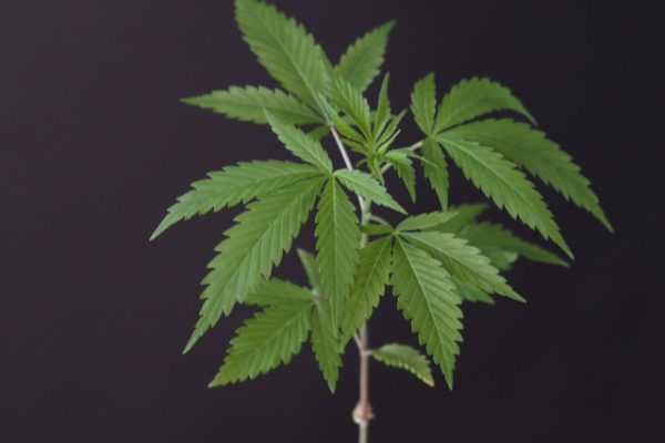The Anatomy of a Hemp Plant in Today's Day & Age